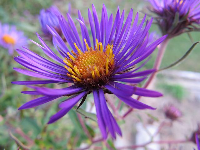 Aster, Flower, Bloom, Blossom, Floral, Natural, Flora