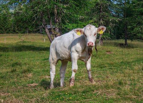 Cow, Calf, Beef, Pasture, Cattle, Livestock, Meadow