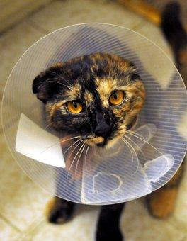 Cat, Collar, Spayed, Tortoiseshell, Pet, Animal, Feline