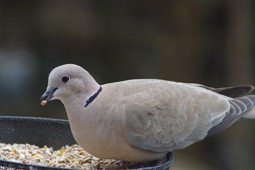 Dove, Collar, Bird, Streptopelia, Feeding, Eating