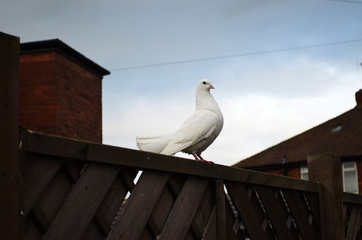 Dove, Animals, Pigeon, Bird, Feather, Wing, Freedom