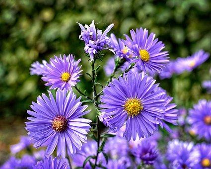 Herbstastern, Aster Dumosus, Asters, Composites, Flower