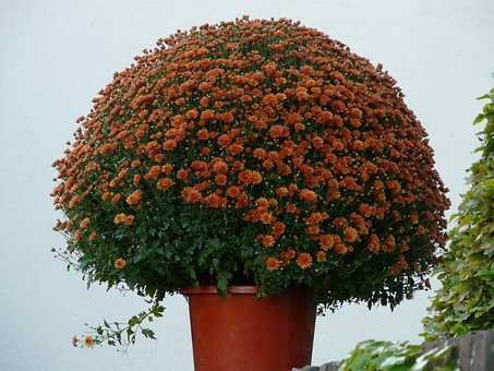 Aster, Herbstaster, Flower, Bloom, Flowers, Color