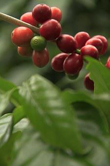 Coffee, Fruit, Plant, Nature, Food, Green Leaves