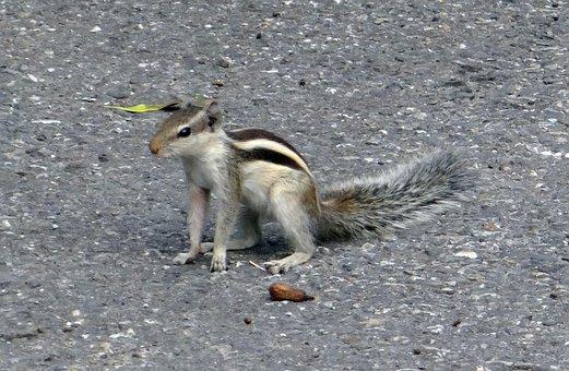 Indian Palm Squirrel, Funambulus Palmarum