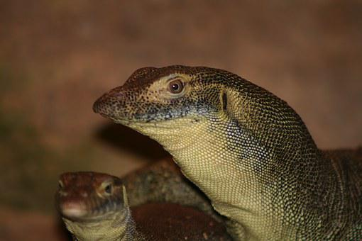 Mertens Water Monitor, Goanna, Australia, Lizard