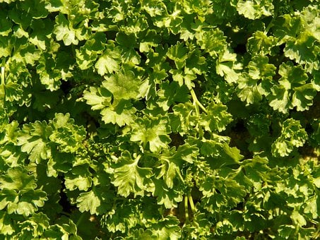 Parsley, Culinary Herbs, Green Soup, Green, Herb, Plant