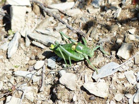 Gut Insect, Grasshopper, Polysarcus Denticauda