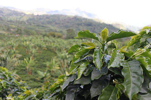 Coffee, Colombia, Green, Coffee Grains, Harvest, Aroma