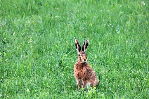 Grass, Meadow, Hare, Lakshmi, Animal