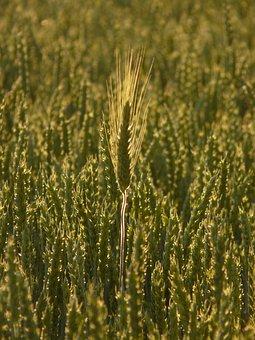 Nourishing Barley, Ear