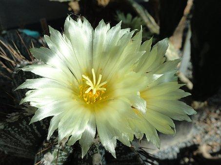Astrophytum, Ornatum, Bishop's, Cap, Cactus, Botanical