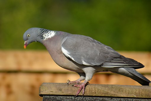 Woodpigeon, Pigeon, Side View, Perched, Garden