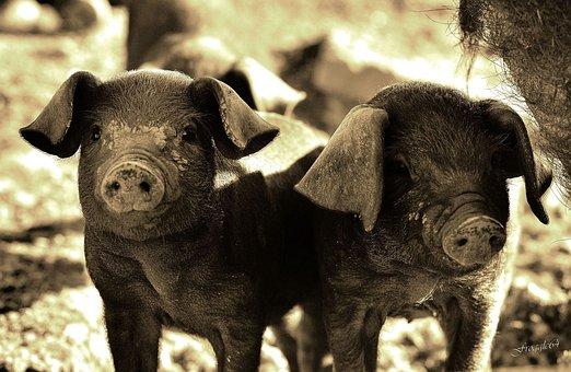 Pig, Animals, Basque Country