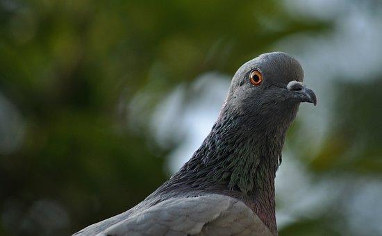 Pigeon, Eye, Bird, Fly, Wings, Feather, Wildlife, Beak