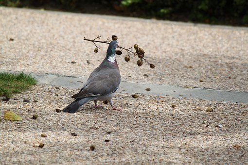 Pigeon, Birds, Dove, Freedom, Love, Wing, Flight