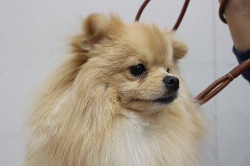 Pomeranian, Yiseungbae, Puppy, Ke An Gyeon