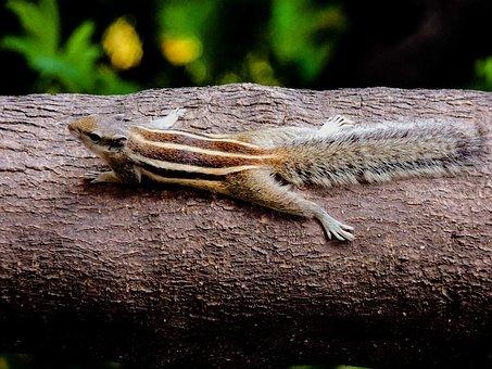 Chipmunk, Rodent, Sciuridae, Small Squirrel