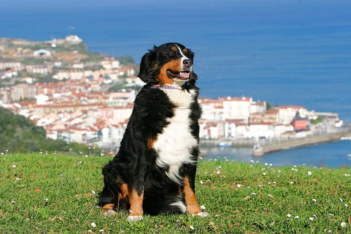 Dog, Berner Sennen Dog, Spain, View, Basque Country