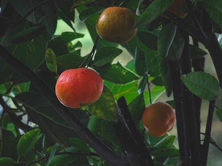 Mandarin, Fruit, Citrus Fruit, Tree, Citrus Reticulata