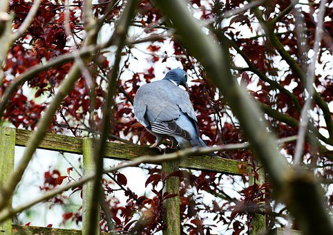 Woodpigeon, Pigeon, Perched, Fence, Tree, Looking Back