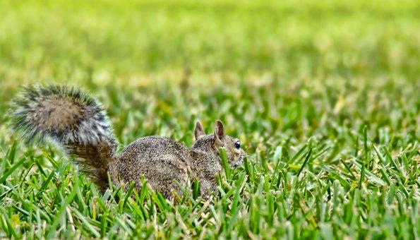 Squirrel, Animal, Sciuridae, Rodent, Florida, Uptown