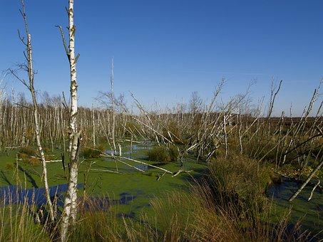 Swamp, Birch, Nature Reserve, Moor, Moorland, Water