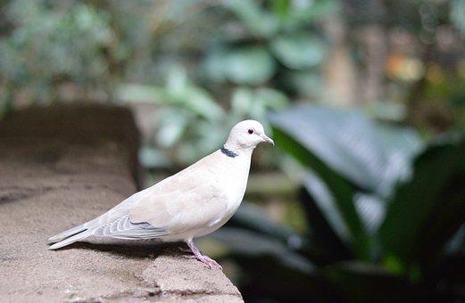 White Pigeon, Dove, Bird, Nature, Wildlife, Exotic