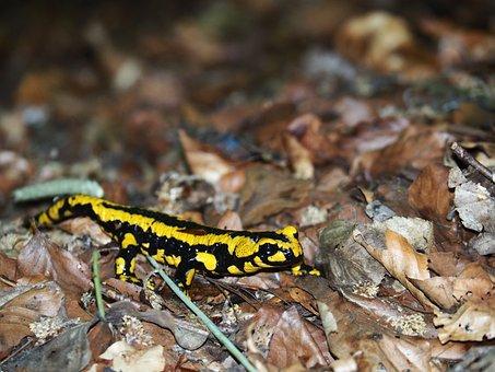 Amphibian, Animal, Close-up, Dry Leaves, Macro, Reptile
