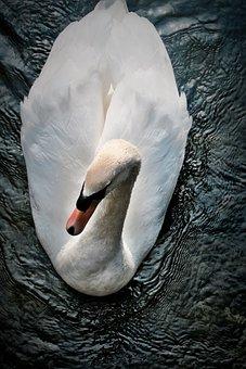Animal, Swan, Lake, Nature, Bird, Water, Symbol