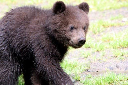 Brown Bear, Ursus Arctos, Kamchatka Bear, Bear, Bears