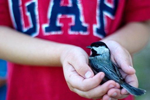 Bird, Safety, Rescue, Birds, Chickadee, Wild, Wildlife