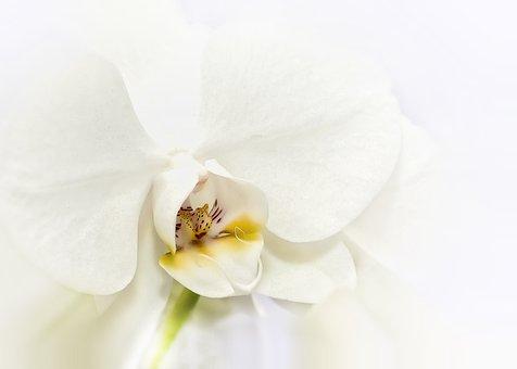 Phalaenopsis, Orchid, White, Tender, Blossom, Bloom