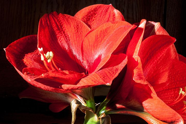 Amaryllis, Red, Flowers, Flower, Plant, Botany, Close