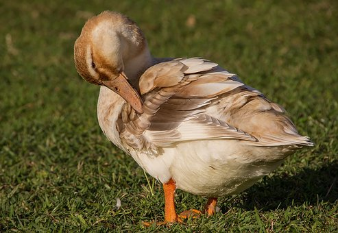 Duck, Preening, Feathers, Bird, Beak, Brown, Cream