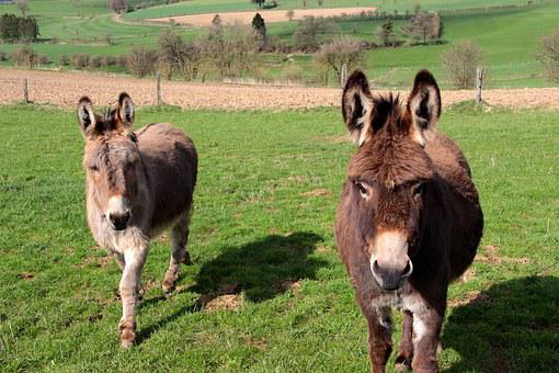Donkey, Domestic Donkey, Equus Asinus Asinus, Animals