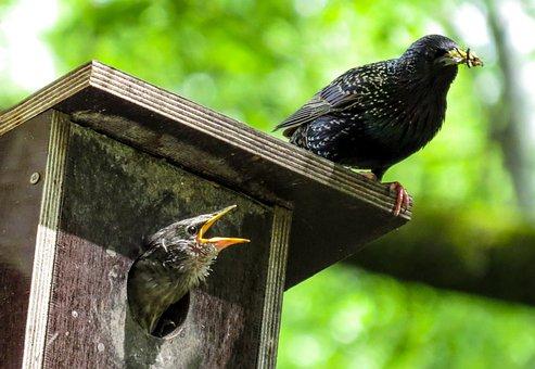 Bird, Stare, Spring, Nesting Box, Glossy-starling, Feed