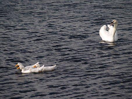 Swan, Bird, Lake, Wing, Feather, Wildlife, Flight