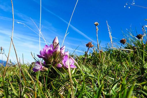 Flower, Blossom, Bloom, Gentian, Close Up, Alpine