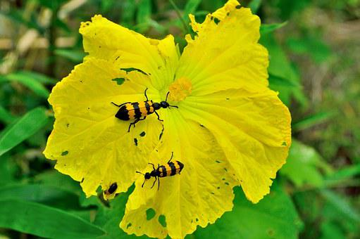 Flower, Spanish Fly, Luffa Cylindrica