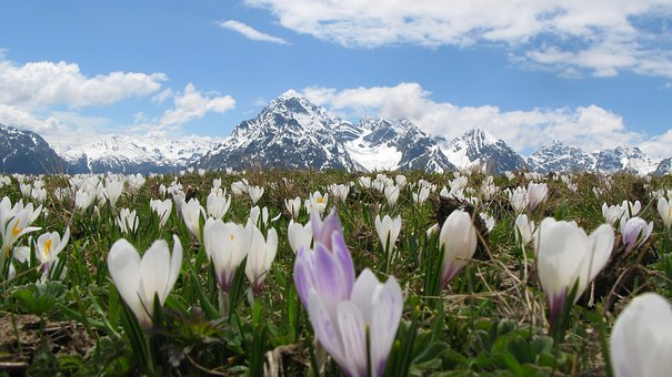 Crocus, Alpine, Snow Mountains, Flowers, Idyllic