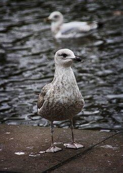 Gull, Bird, Sea Gull, Gulls, Seagull, Nature, Dublin