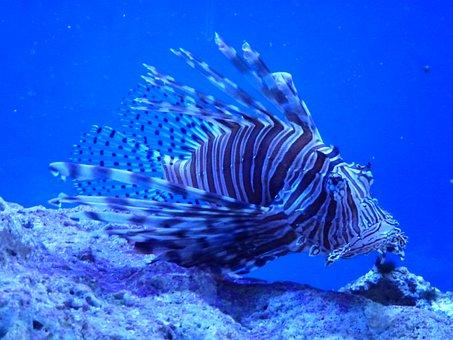 Lionfish, Key Largo, Pennecamp State Park, Fish, Sea