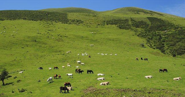 Livestock, Sheep, Horse, Cows, Calves, Colts, Landscape