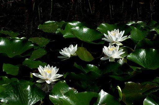Lotus, Lotus Blossom, Water Lily, Pond, Flowers