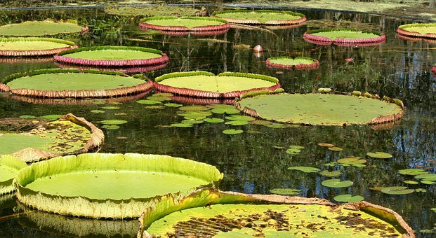 Lily Pads, Pond, Aquatic, Water Plants, Bloom, Lotus