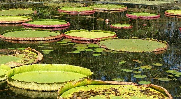 Lily Pads, Pond, Aquatic, Water Plants, Bloom, Lotus