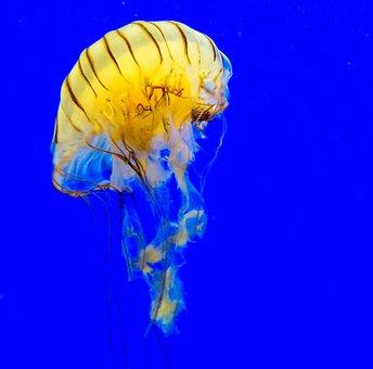 Jellyfish, Meduse, Cnidarian, Medusa, Compass Jellyfish