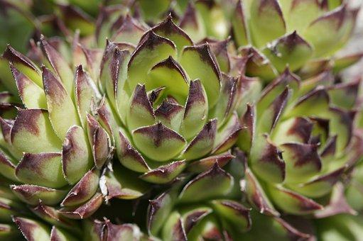 Succulents, Structure, Texture, Plant, Exotic