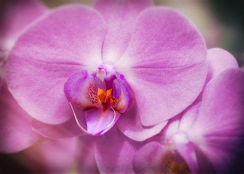 Orchid, Phalaenopsis, Purple, Blossom, Bloom, Flower